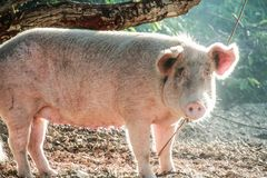 A domesticated pig tied in a tree. A domesticated pig owned by a local farmer was tied in a tree to raise and sell in the market royalty free stock photos