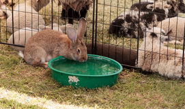 Domesticated rabbit drinks from a water bowl. On a farm in summer Royalty Free Stock Image