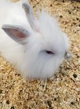 Domesticated rabbit puppy with white hair for pet. Domesticated rabbit puppy white hair pet animal mammal fur beautiful small farm stock photo