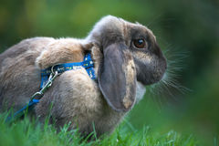 Domesticated Rabit Stock Images