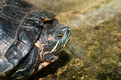 Domesticated Red Eared Slider Peaks Out from his Shell. Domesticated turtle, a red eared slider, peaks out of his shell as he sits on a rock beside a garden pond Royalty Free Stock Photos