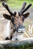Domesticated Reindeer with Velvet on Antlers Stock Photography