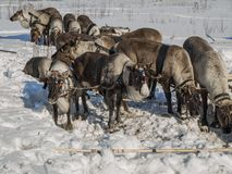 domesticated reindeers Stock Photo