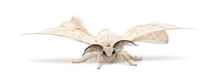 Domesticated Silkmoth, Bombyx mori Royalty Free Stock Images