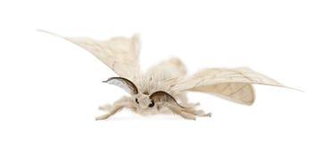 Domesticated Silkmoth, Bombyx mori. Against white background stock photo