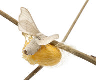 Domesticated Silkmoth next to own cocoon. Bombyx mori, laying eggs against white background royalty free stock image