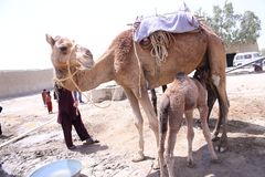 Domesticated single hump camel Camelus dromedarius with calf. Domesticated single hump camel calf Camelus dromedarius suckling at its mother`s udder in village royalty free stock photos