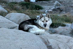 Domesticated sled dog in Ilulissat Greenland Stock Photo