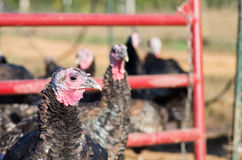 Domesticated turkey (Meleagris gallopavo). And rafter (aka gang or flock) on a farm living free range Stock Photography