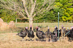 Domesticated turkey (Meleagris gallopavo) Stock Photography