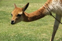 A domesticated Vicuna in a field. A domesticated Vicuna in a green field near the ruins of Raqchi, Peru royalty free stock photography