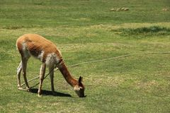 A domesticated Vicuna in a field. A domesticated Vicuna in a green field near the ruins of Raqchi, Peru royalty free stock image