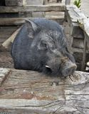 Domesticated Wild boar. Close up view of a domesticated wild boar Royalty Free Stock Image