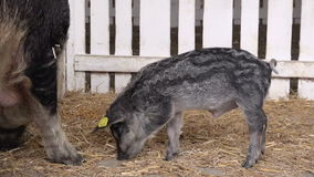 Domesticated Wild Boar or Wild Swine with Juvenile Piglets Feeding. In Barn stock video footage
