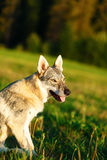 Domesticated wolf dog on a meadow. Czechoslovakian shepherd. Royalty Free Stock Images