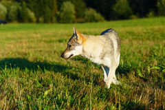 Domesticated wolf dog on a meadow. Czechoslovakian shepherd. Stock Photos