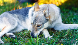 Domesticated wolf dog resting relaxed on a meadow.. Stock Photos