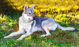 Domesticated wolf dog resting relaxed on a meadow. Czechoslovakian shepherd. Royalty Free Stock Photo