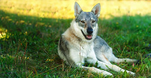 Domesticated wolf dog resting relaxed on a meadow. Czechoslovakian shepherd. Eye contact. Royalty Free Stock Photography
