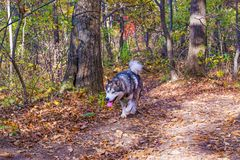 A domesticated Wolf walks through the forest, beautiful beast runs in nature. Royalty Free Stock Images