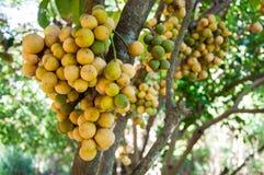 Domesticum дерева или Lansium Longkong Стоковые Фото