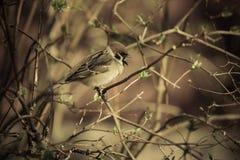 Domesticus проезжего воробья на ветви кустов весны в th Стоковые Изображения RF