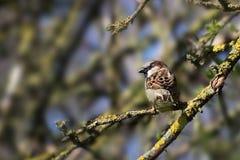 Domesticus проезжего воробья дома птица мужского малая сидя на b Стоковая Фотография RF