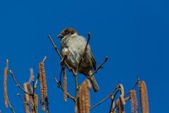 Domesticus сидя в ветви дерева участка земли, b проезжего воробья дома Стоковые Фото