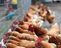 Domesticus del gallus del Gallus, pollo domestico fotografia stock libera da diritti