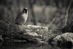 Domesticus del transeúnte del gorrión en la orilla de la charca del bosque para Fotos de archivo libres de regalías