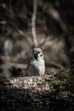 Domesticus del transeúnte del gorrión en la orilla de la charca del bosque para Imágenes de archivo libres de regalías