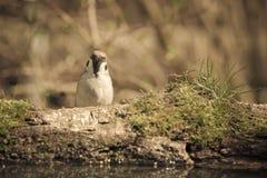 Domesticus del transeúnte del gorrión en la orilla de la charca del bosque para Fotografía de archivo