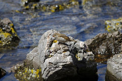 Domesticus del transeúnte o gorrión de casa en un agua Foto de archivo