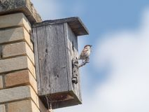 Domesticus do transmissor - pássaros, pardal na frente da cabine imagem de stock royalty free