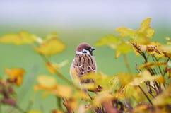 Domesticus do transmissor do pardal que empoleira-se em um ramo de árvore contra o campo verde Imagem de Stock Royalty Free
