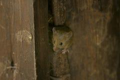 domesticus domowej myszy musculus obrazy royalty free