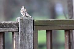 Domesticus europeu do transmissor do pardal em uma cerca de madeira fotos de stock