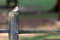 Domesticus europeu do transmissor do pardal em uma cerca de madeira imagens de stock