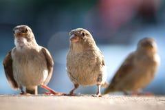Domesticus femenino del transeúnte del gorrión en la costa con los polluelos Imagen de archivo