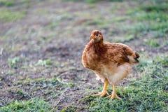 Domesticus Gallus цыпленка Стоковое Фото