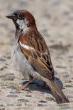Domesticus masculino do transmissor do pardal de casa Feche acima do pássaro do jardim fotos de stock