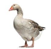 Domesticus oie, d'anser domestiques d'Anser, position et regard vers le bas Photographie stock libre de droits