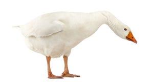 Domesticus oie, d'anser domestiques d'Anser, position et regard vers le bas Photo stock