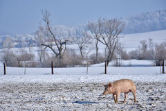 Domestig pig on range land. In winter Stock Photography