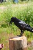 Domestique o corvo preto que senta-se em um cargo de madeira no fundo iluminado pela vegetação e pela grama do verde do sol do ve fotos de stock royalty free