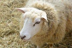 Domestizierte Schafe auf Weide Lizenzfreies Stockbild
