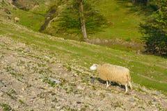 Domestizierte Schafe auf Weide bei dem Sonnenuntergang Lizenzfreies Stockfoto