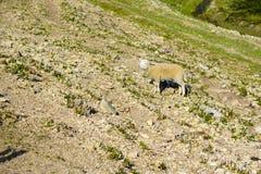 Domestizierte Schafe auf Weide bei dem Sonnenuntergang Stockbilder