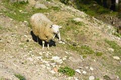 Domestizierte Schafe auf Weide bei dem Sonnenuntergang Lizenzfreie Stockfotografie