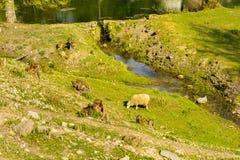 Domestizierte Schafe auf Weide bei dem Sonnenuntergang Lizenzfreie Stockfotos